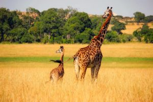 Giraffes Walking